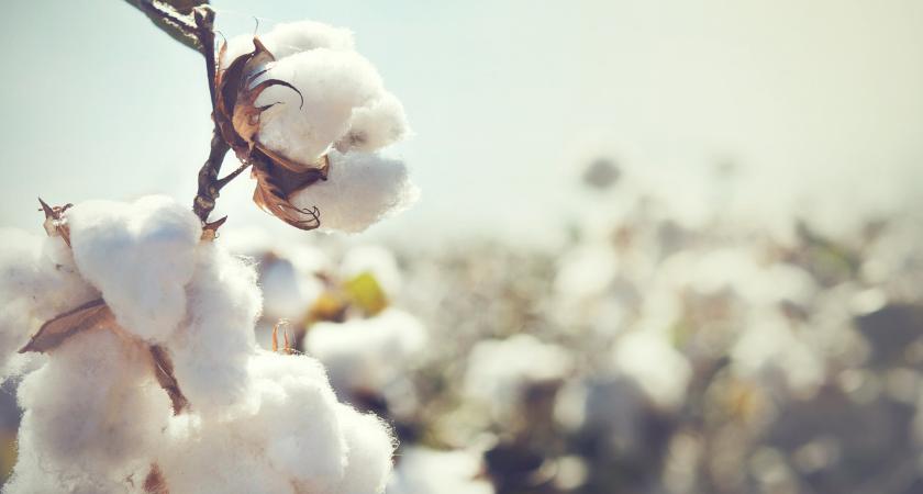 algodón orgánico